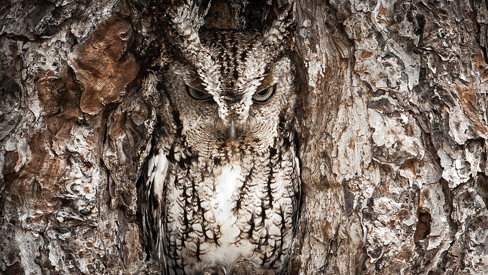 Portrait of an Eastern Screech Owl - 2013-04-18_202369_outdoor-scenes.jpg