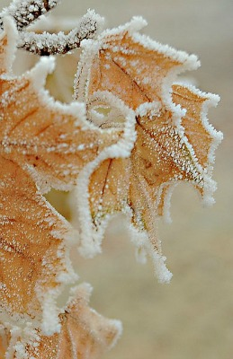 leaves outlined with snow