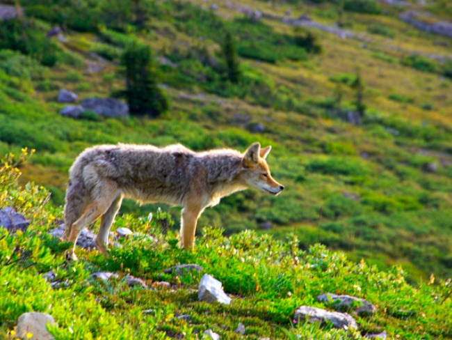 coyote in meadow