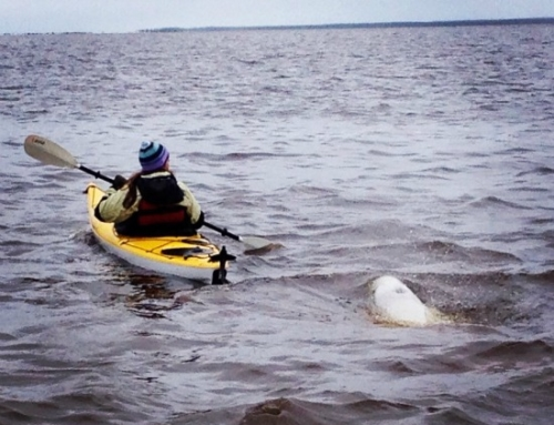 Why visit Churchill in summer? How about polar bear AND beluga whale tours!